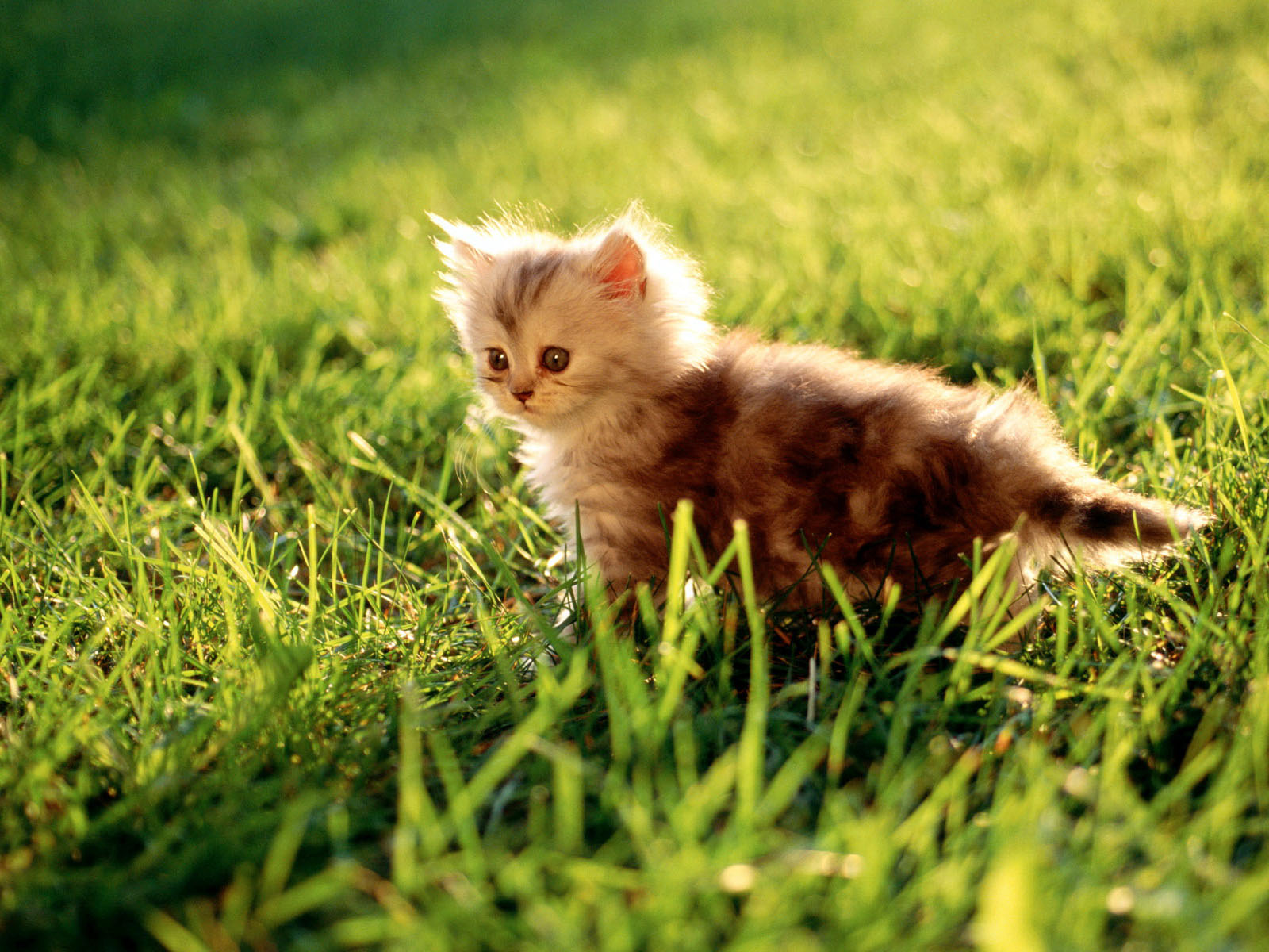 Hd animal wallpapers - Kitten wallpaper hd ...