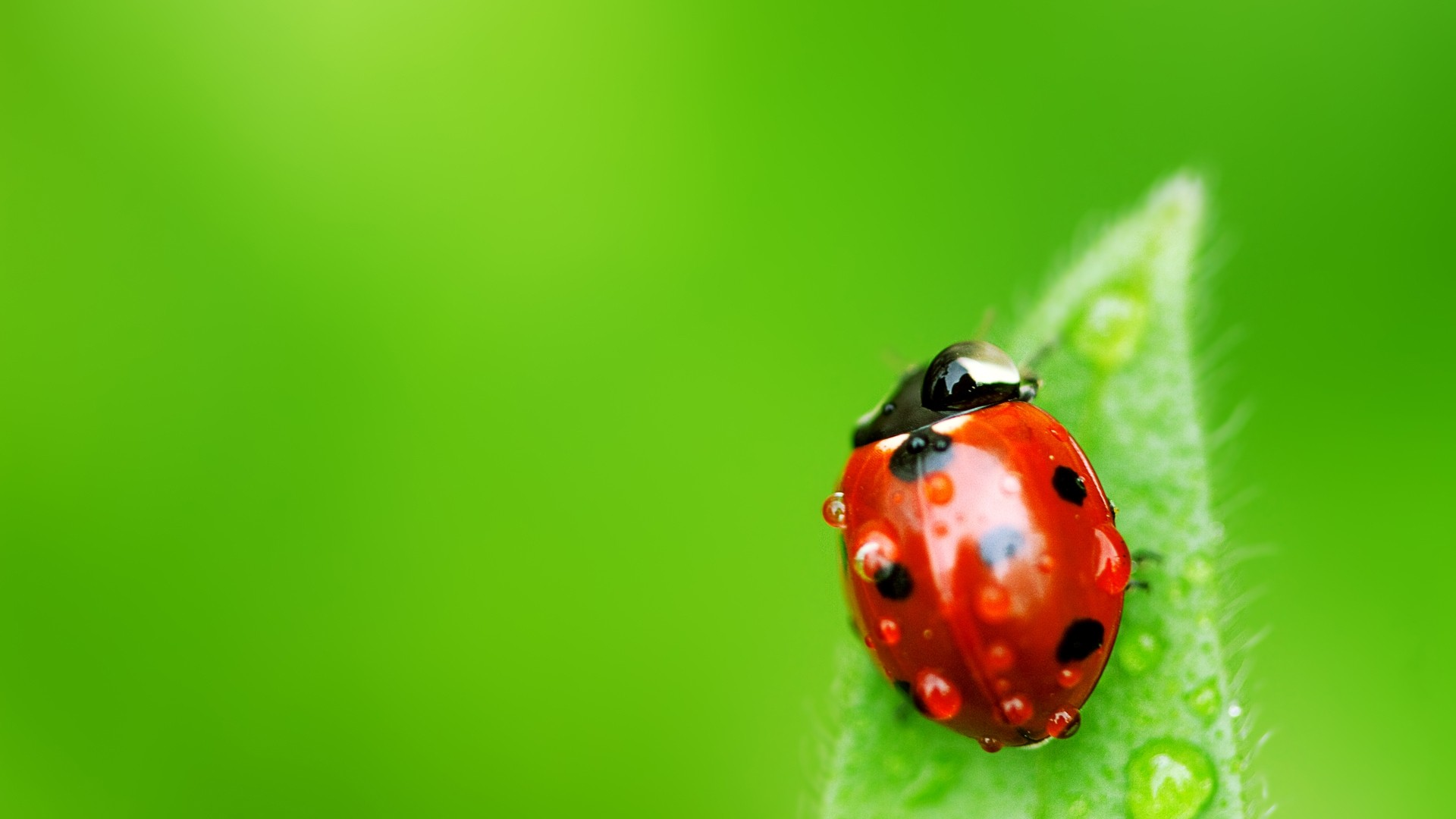 insects ladybirds desktop wallpapers - photo #1