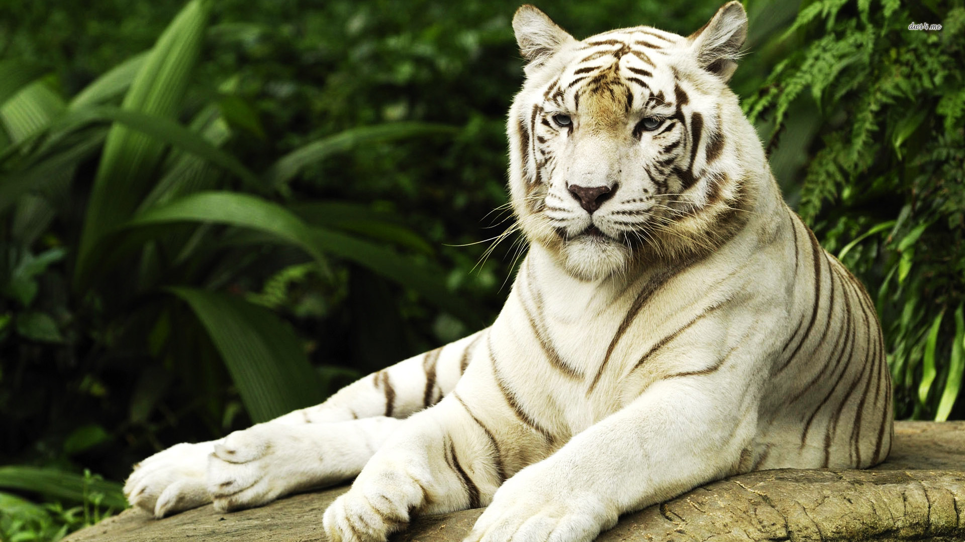 white tiger animal wallpaper - photo #1
