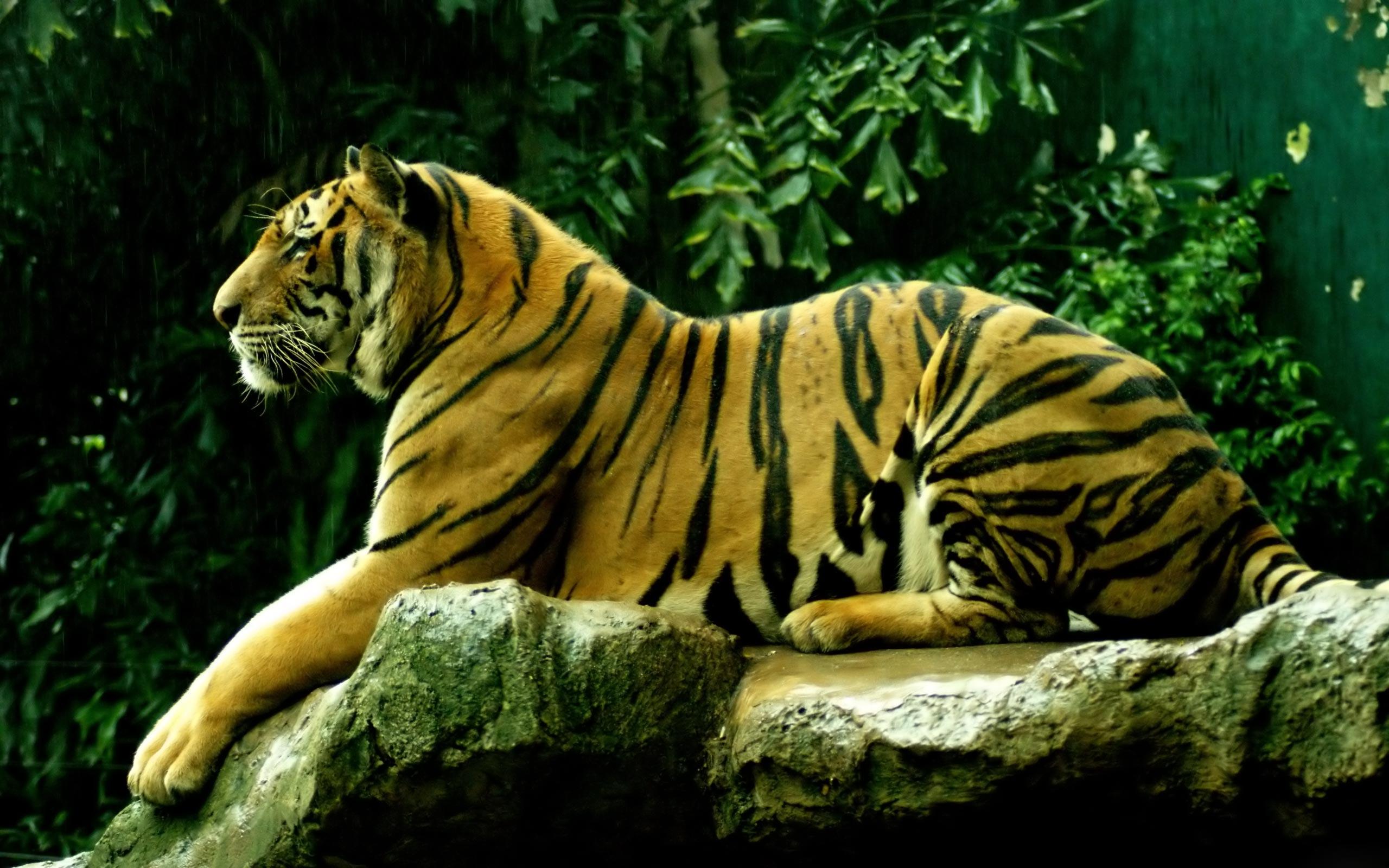 Тигр под пальмой тигр взгляд вверх  № 2081299 без смс