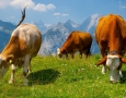 1600x1000 Cows  HD Animal Wallpaper