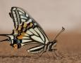 1626x1080 White Butterfly HD Animal Wallpaper
