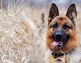 1920x1080 German Shepherd HD Animal Wallpaper