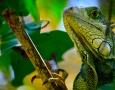 1920x1200 Iguana HD Animal Wallpaper
