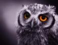 1920x1200 Owl HD Animal Wallpaper
