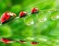1920x1200 ladybugs HD Animal Wallpaper