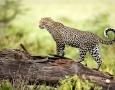 1920x1200 walking leopard HD Animal Wallpaper