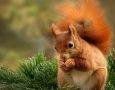 1920x1080 Red Squirrel HD Animal Wallpaper