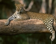 1366x768 Animals african leopard HD Animal Wallpaper