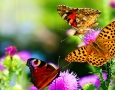 1600x1000 Orange Butterfly  HD Animal Wallpaper