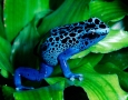 1600x1159 Blue Frog HD Animal Wallpaper