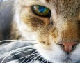1600x1200 cat HD Animal Wallpaper