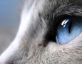 1600x900 Blue Eyed Cat  HD Animal Wallpaper