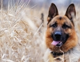 1920x1080 German Shepherd HD Animal Wallpaper