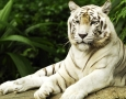 1920x1080 Resting White Tiger HD Animal Wallpaper