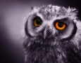1920x1200 Owl HD Animal Wallpaper