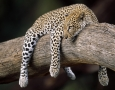 1999x1333 Sleeping Leopard HD Animal Wallpaper