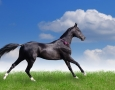 2560x1600 Balck Horse  HD Animal Wallpaper