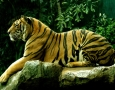 2560x1600 Royal Bengal Tiger HD Animal Wallpaper