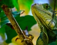 1920x1200 Iguana HD Animal Wallpaper