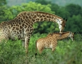 1920x1200 Giraffe & Calf HD Animal Wallpaper