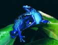 1920x1080 Blue Tree Frog HD Animal Wallpaper