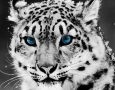 1920x1080 Snow Leopard HD Animal Wallpaper