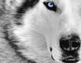 1280x800 Siberian Husky HD Animal Wallpaper