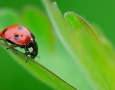 1680x1050 LadyBug HD Animal Wallpaper