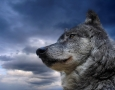 1600x1200 Wolf HD Animal Wallpaper