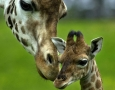 1920x1080 Giraffe HD Animal Wallpaper
