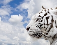 1600x1000 White Tiger HD Animal Wallpaper