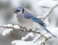 1920x1080 Blue Jay Bird HD Animal Wallpaper