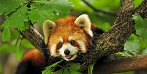 20 Beautiful Red Pandas