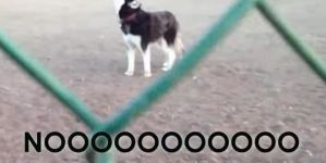 This Husky Does Not Want To Leave The Park!