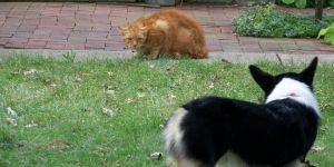 Wordless Wednesday: Corgi Meets Cat
