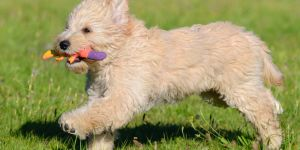 All About the Goldendoodle