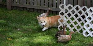 Wordless Wednesday, Corgi Duck Herding