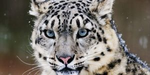 The Snow Leopard, Endangered Specie