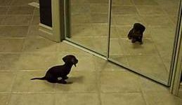 Mini Daschund Puppy VS Mirror