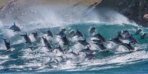 40 Dolphins Caught On Camera Riding Waves In South Africa