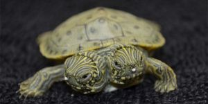 A Cute Two-Headed Turtle In San Antonio
