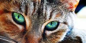 Jigsaw Puzzle: Green Eyed Cat