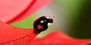 Jigsaw Puzzle: Lady Bug