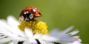 Jigsaw Puzzle: Lady Bug on Flower