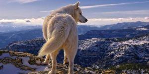 Jigsaw Puzzle: White Wolf
