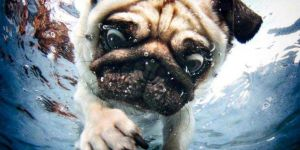 Jigsaw Puzzle: Pug Under Water