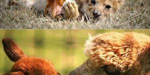 Animal Cuteness Battle - Leopard Cub vs Alpaca
