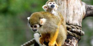 Animal Jigsaw Puzzles:Cute Squirrel Monkey