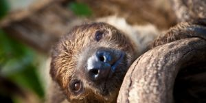 Animal Jigsaw Puzzles: Two Toed Sloth